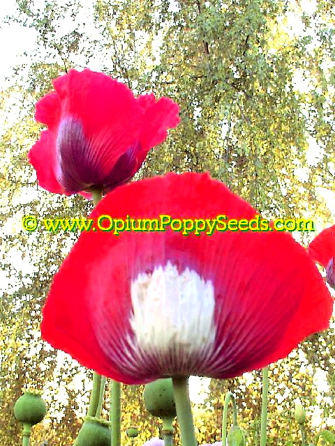 In Foreground Danish Flag Papaver Somniferum Poppy Flower Bloom!