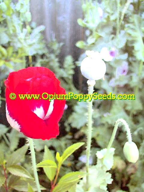 Danish Flag Papaver Danish Flag Papaver Somniferum Poppy Flowers With Seed Pod And Bud!