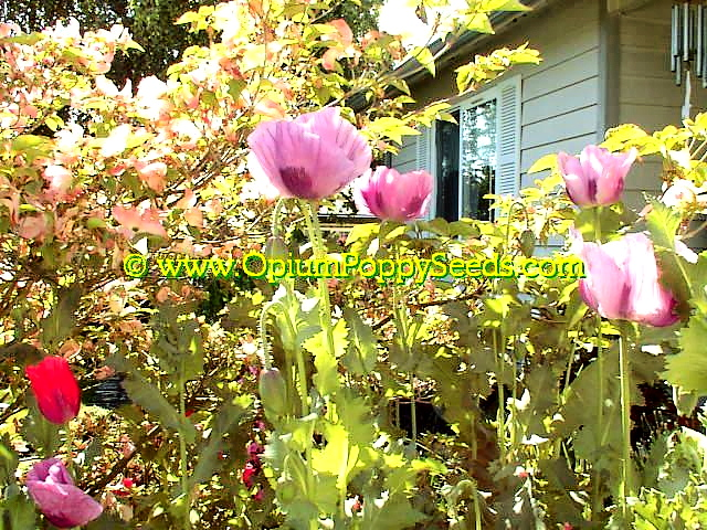 Opium Poppy Flower Group Growing In Front Of Dogwood Branches!