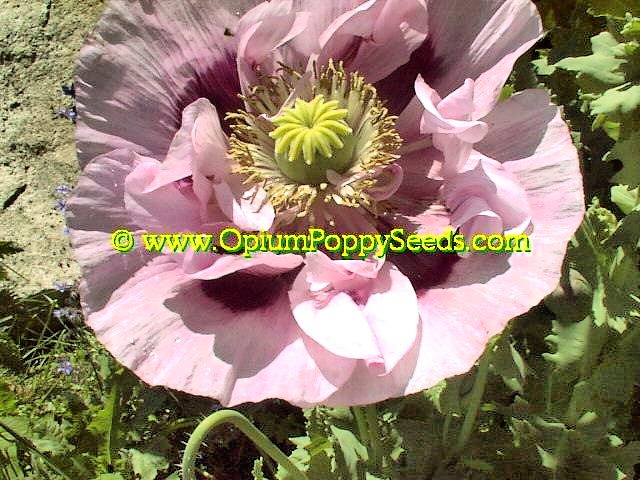 One Of The Pink Double Petal Opium Poppy Flower From The Group!