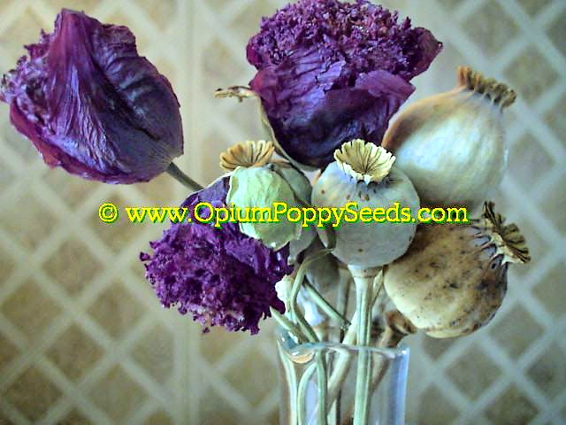 Drying Opium Poppy Flowers And Opium Poppy Seed Pods In A Vase!
