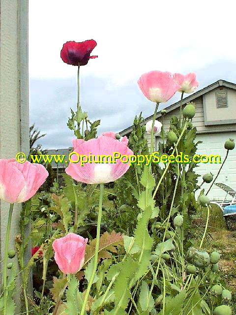 Small Bunch Of Pink Papaver Somniferum Poppy Flowers!