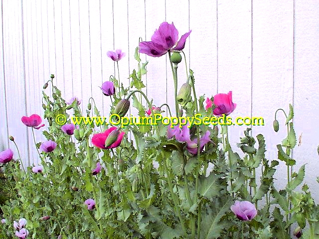 Large Group Of Mixed Opium Poppy Flowers!
