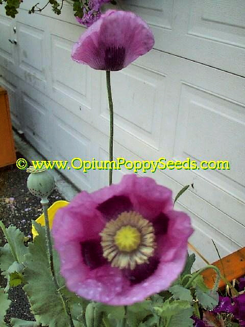 A Few Lavender Papaver Somniferum Poppy Flowers!