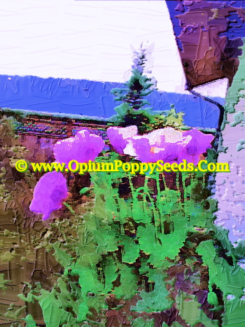 Oil Print Of A Group Of Single Lavender Papaver Somniferum Poppy Flowers!