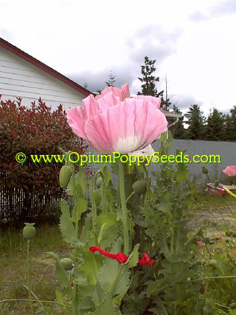 Lone Tall Pink Papaver Somniferum Poppy Flower Also With White Eye!