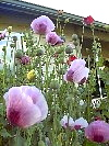 These Papaver Somniferum Poppy Flowers Grew Six Foot Despite Density!