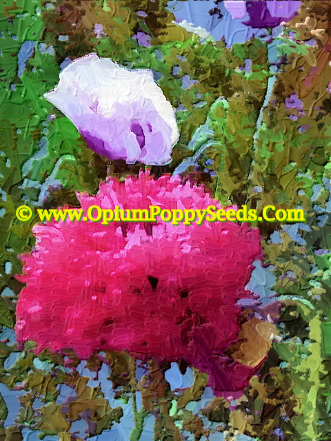 Oil Print Of Double Red Papaver Somniferum Poppy Flower With Single Lavender Behind!