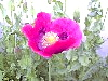Early Blooming Hot Pink Papaver Somniferum Flower Surrounded By Buds!