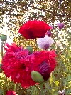 Group Of Red Double Flower Papaver Somniferum Poppy Flower Blooms!