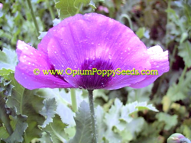 Beautiful Bright Lavender Opium Poppy Flower With A Dark Purple Eye, One Of Our Best!