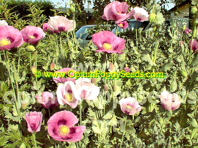 Opium Poppy Flowers Ranging From Pale Pink To Pinkish Lavender<br> Colored Petals With A Dark Purple To Burgundy Eye!