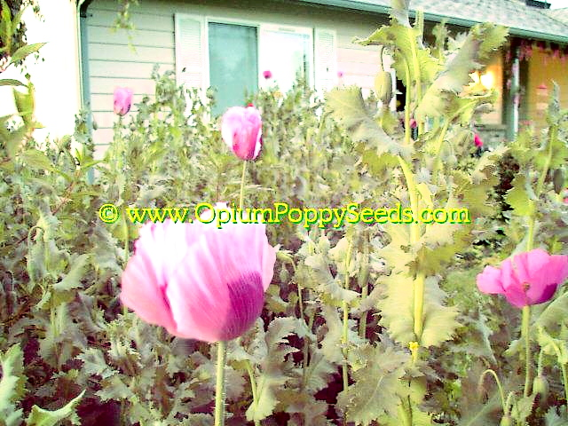 Large Group Of Pink Papaver Somniferum Poppy Flowers, Magnificent!