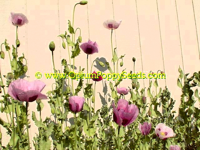 Another Group Of Pale Lavender Opium Poppy Flowers!