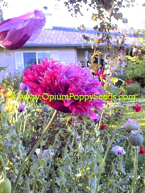 An Absolutely Gorgeous Peony Lavender Papaver Somniferum Poppy Flower!