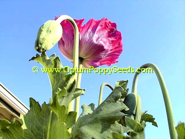 Pink Poppy flower and bud in front of blue sky