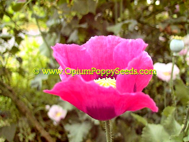 Red Beauty Papaver Somniferum Poppy Flower Showing Off The Bright Yellow Center Pod Crown!