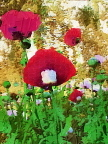 Oil Print Of Red And Lavender Papaver Somniferum Poppy Flowers!